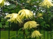 Clematis - Golden Dream