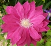 Clematis - Red Star