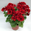 LIELZIEDU PELARGONIJA ARISTO VELVET RED