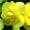 KAMOLBEGONIJAS Light Yellow  (Begonia tuberhibrida)