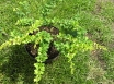 BARBELE TUNBERGA '' Green Carpet'' (Berberis thunbergii) C2