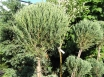 Juniperus scopulorum Skyrocket Pa -100,C 10l.